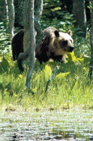 5湖の湖畔に姿を見せたヒグマ