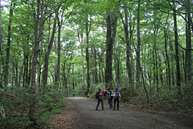 十二湖にある遊歩道はブナの大木に囲まれている