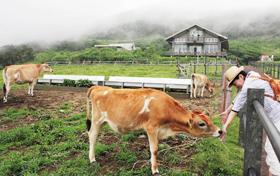 人懐こいジャージーの子牛に観光客の歓声が絶えない=東京都八丈町のふれあい牧場で