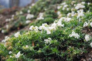 日当たりの良い斜面で昨年より1カ月早く開花したシバザクラ=飯田市南信濃和田の龍淵寺で