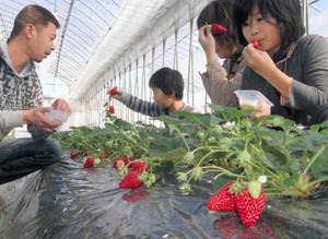 甘酸っぱいイチゴを味わう家族連れ=飯田市龍江で