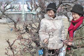 """開花が遅れる安八百梅園で、""""探梅""""を楽しむ女性"""