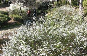 雪が積もったように白い花を咲かせるユキヤナギ=2日午後、浜松市南区大塚町で