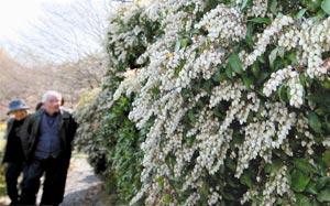 散歩の人たちも目を留める、アシビの小さな花=23日午後、浜松市浜北区の万葉の森公園で(川戸賢一撮影)