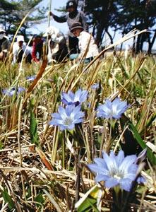 かれんに野に咲くハルリンドウ=浜松市三幸町で
