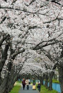 咲き誇る桜の花の下を散策する人たち=31日午後、浜松市中区船越町で(川戸賢一撮影)