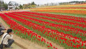チューリップやシバザクラが鮮やかに彩るお花畑=郡上市高鷲町の牧歌の里で