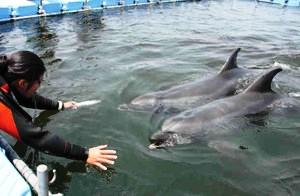 浜辺のいけすで泳ぐ2頭のイルカ=南知多町日間賀島で