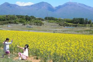 浅間山を背景に黄色く染まる菜の花畑=小諸市山浦で