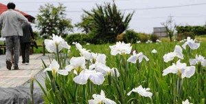 開園した花菖蒲園=高島市新旭町藁園の道の駅「しんあさひ風車村」で