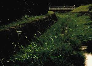 幻想的な光を放ちながら川面を飛び交うゲンジボタル=岡崎市鳥川町で
