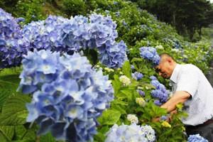 板取21世紀の森公園では、アジサイの花が見ごろを迎えつつある=関市板取で