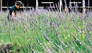 間もなく満開を迎えるラベンダー畑=土岐市鶴里町柿野の「みくに茶屋」で