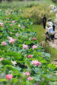 さわやかな薄紅色が琵琶湖岸を彩るハスの花=草津市下物町で