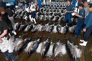 500本ものマグロが運び込まれ、活気あふれる七尾市公設地方卸売市場=同市大田町で