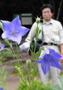 紫の花を咲かせるキキョウ=越前町の福井総合植物園プラントピアで