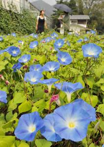 辺り一面をたくさんの涼しげな青い花で覆うアサガオ=箕輪町で