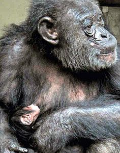 メロンの母乳を吸う赤ちゃん=能美市のいしかわ動物園で(11日撮影、いしかわ動物園提供)