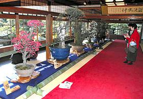 見事な盆梅が慶雲館に並ぶ長浜盆梅展
