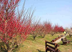 紅梅もある南部梅林の梅公園