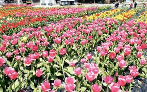 山あいの畑で咲き始めたチューリップ=岡崎市の奥殿陣屋で