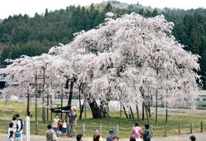 満開となった「畑のしだれざくら」=甲賀市信楽町で