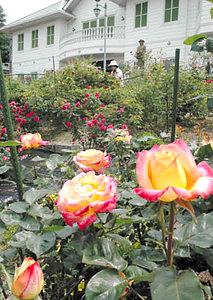 華やかな花を咲かせたバラ=恵那市明智町で