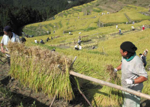 刈り取った稲をはさがけする参加者=熊野市紀和町の丸山千枚田で