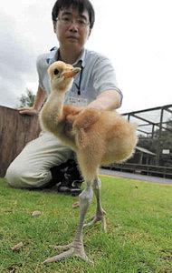 すくすくと育つタンチョウのひな=鯖江市西山動物園で