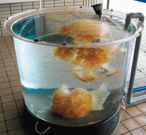 水槽で展示されているエチゼンクラゲ=若狭町世久見の県海浜自然センターで