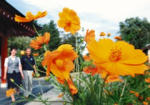 秋の訪れを告げるように、鮮やかなオレンジ色の花で咲きそろうキバナコスモス=10日午後、浜松市浜北区高薗の白衣観音で(袴田貴資撮影)