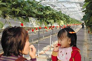 甘いイチゴ「章姫」をほおばる親子連れ