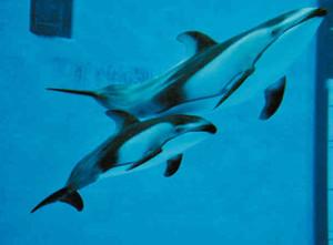 お母さんに寄り添って泳ぐ「アイ」と名付けられたカマイルカの赤ちゃん(下)=名古屋市港区の名古屋港水族館で