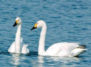 今年の初飛来はいつ? 琵琶湖で羽を休めるコハクチョウ=昨年10月、長浜市で