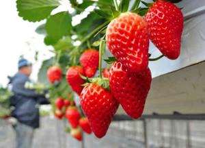赤く熟した大粒のイチゴ=喬木村小川で