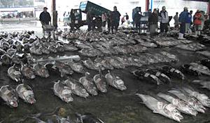 勝浦港に水揚げされたマグロ
