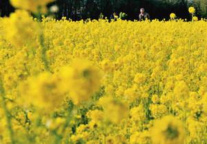 春のような日差しを浴び、一面黄金色に染まった菜の花畑=明和町斎宮で