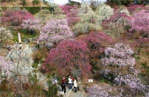 紅白やピンク色の花が咲き、見ごろを迎えた龍尾神社のしだれ梅=23日午後、掛川市下西郷で