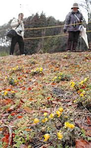 土手に黄色い花を咲かせるフクジュソウ