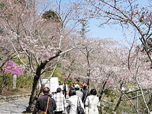 法多山参詣道の桜並木(3月22日撮影)