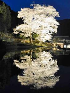 水面に映る姿が幻想的な「苗代桜」=下呂市和佐で