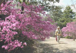 咲き乱れるコバノミツバツツジ=いずれも尾張旭市の県森林公園で