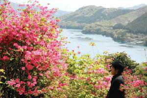 大輪の花を咲かせたムラサキオンツツジ=尾鷲市曽根町の城山公園で