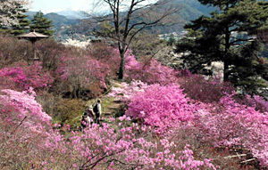 ピンクが美しいミツバツツジ