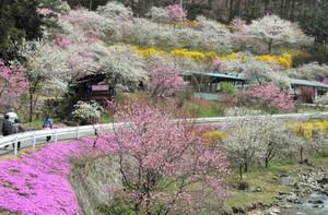 七分咲きのハナモモやシバザクラなどを楽しむ観光客ら=駒ケ根市中沢で