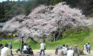 見ごろを迎えた臥龍桜=高山市一之宮町の臥龍公園で
