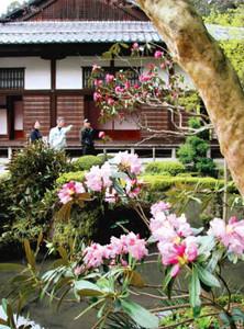 赤や薄桃色のかれんな花を咲かせたシャクナゲ=愛荘町の金剛輪寺で