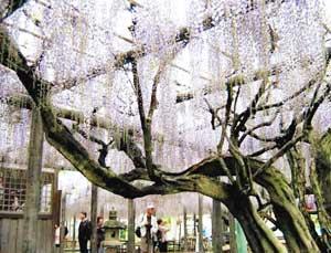 見事なフジが見られる「熊野の長藤まつり」(資料)