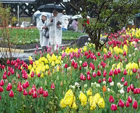 冷たい雨が降る中、雨具を着込み園内を散策する来場者=いずれも砺波チューリップ公園で