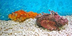 自然界では珍しい黄色いオニオコゼ(左)。右は一般のオニオコゼ=坂井市三国町の越前松島水族館で